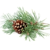 Cedarwood Essential Oil - Texas *