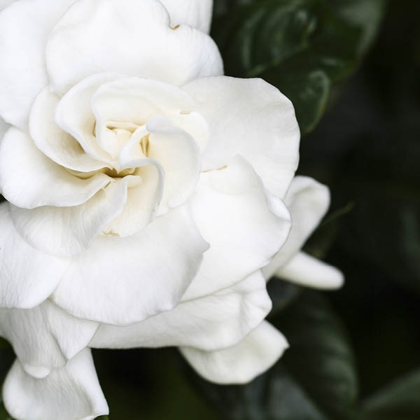 Gardenia II Fragrance Oil