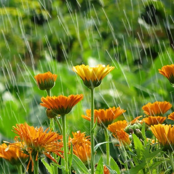 Meadow Rain Fragrance Oil