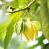 Ylang Ylang 1 Essential Oil *